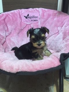 Teacup Yorkie puppies available 76