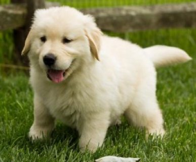 Male and Female Golden Retriever Puppies Available 6543