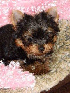 Quality Tiny Yorkie Puppies