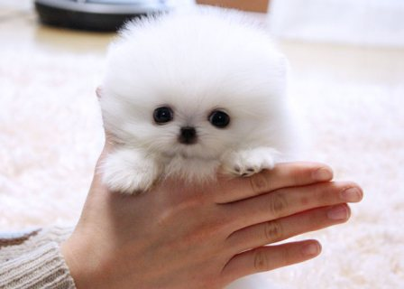 Absolutely Adorable Pomeranian Pups