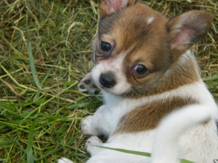 Longhaired Chihuahua Pups for Sale