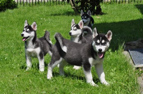 Akc Pure Breed Siberian Husky Puppies.