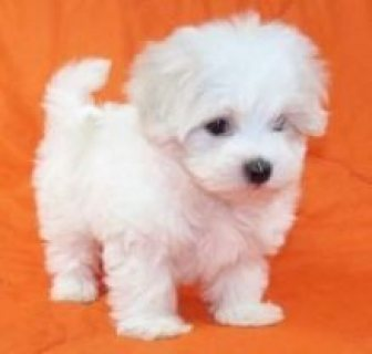 Outgoing Maltese Puppies Available