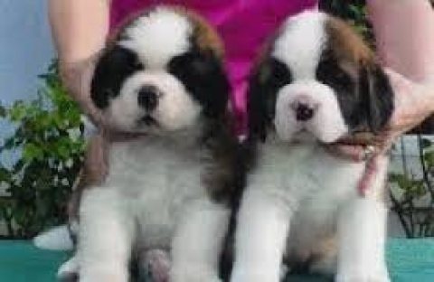 Beautiful Saint Bernard Puppies For Sale