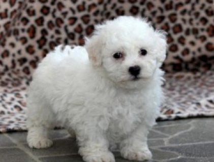 Wonderful Bichon Frise Puppies available for good home