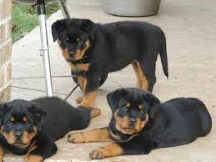 Lovely Rottweilers Puppies for sale