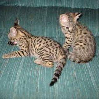 Savannah kittens for sale.,,..,
