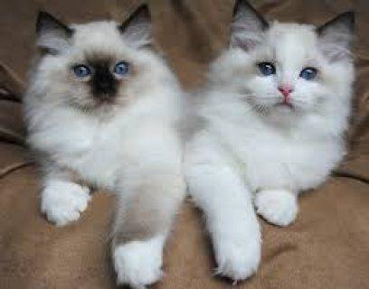 Home Raised Ragdoll Kittens for sale.,,.
