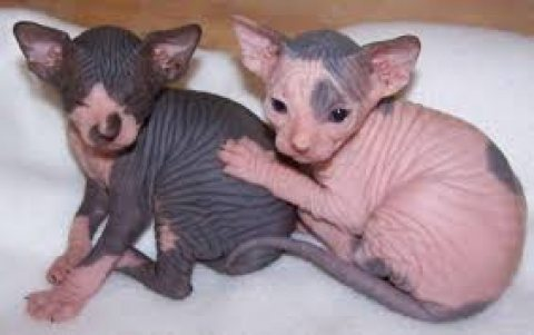 Adorable cute male and female Sphynx Kittens for sale.