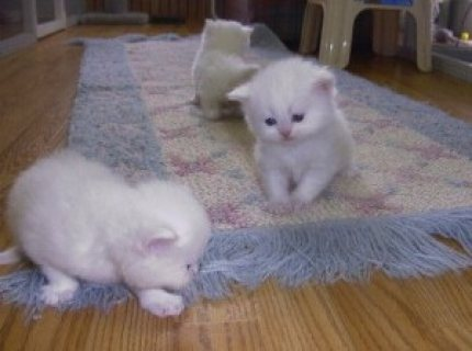 Charming Gifts Persian Kittens Ready For Sale ...,