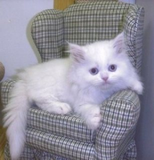 Excellent Persian Kittens Available For Any Good Homes.,.,.,