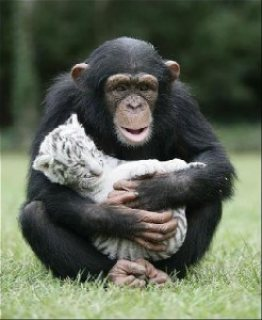 !!!!!!Outstanding looking female chimpanzee for adoption!!!!!