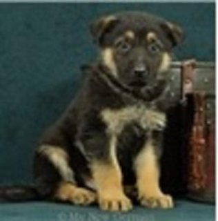 German Shepherd Puppies Ready for New Family
