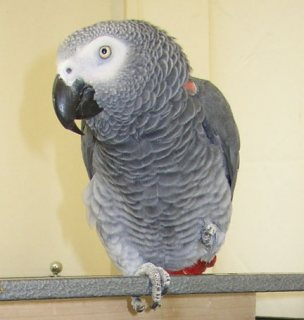 African Grey Parrots for adorption
