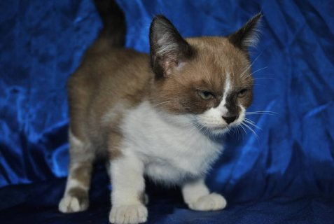 Cute ragdoll Kittens Currently Available