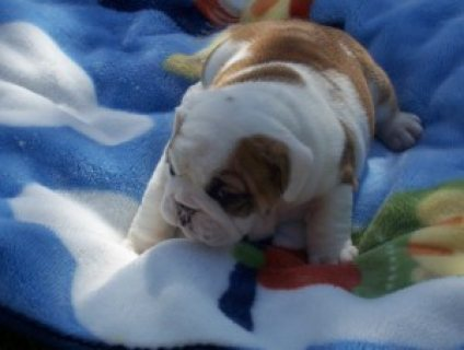 صور Quality English Bulldog Puppies 1