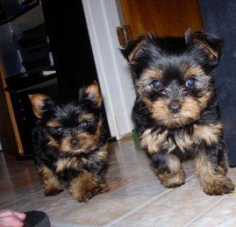 !TALENTED SUPER CUTE YORKIE PUPPIES FOR ADOPTION