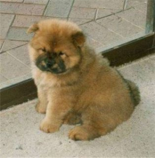 Great Looking chow chow