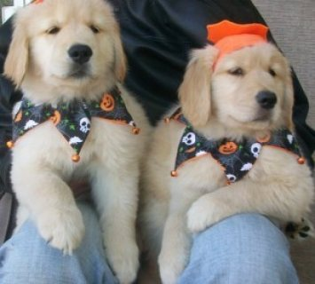 Adorable Golden Retriever Puppies