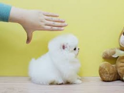 Pomeranians Puppies ,,,,