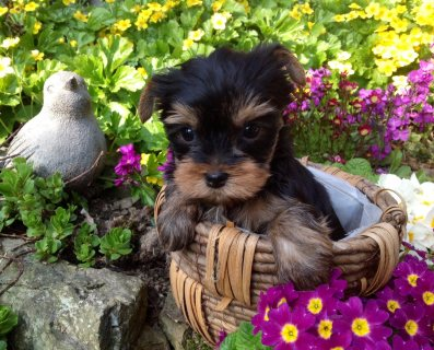 Affectionate T-cup Yorkie Puppies for Sale ,,,,,,