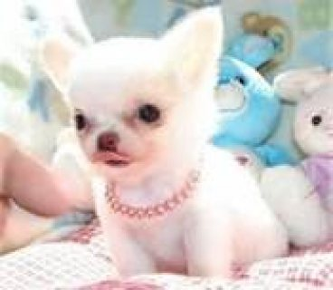 Chihuahua Puppies for Sale ,,