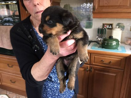 Male and female Rottweiler puppies for pet lovers. ,,