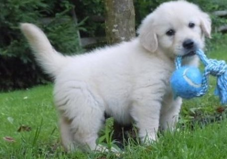 Golden Retriever puppies for adoption,,,,