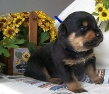 Purebred German Rottweiler Puppies for Sale ,,.