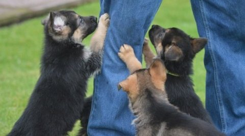 Quality German Shepherd puppies. ...