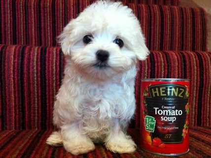 Well Socialized Maltese Puppies ,,,.