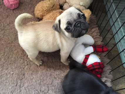 Pug Puppies for sale,,,