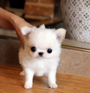Chihuahua Pup for Sale