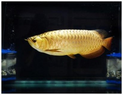 صور Arowana Fish for sale 1