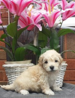 TOY POODLE PUPPIES FOR ADORPTION