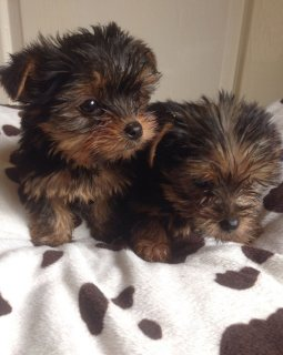 Super adorable Yorkie Puppies for adorption