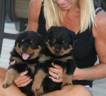 صور Champion Lineage Heavy Boned Rottweiler Puppies available11 1