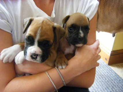 صور Pure Breed Boxer puppies For Adoption111 1