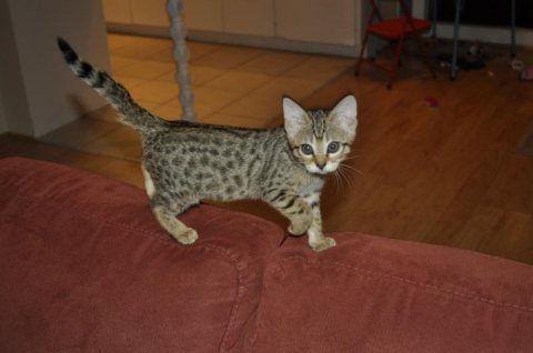 Cute Savannah male and female kittens for sale111