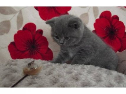 صور Cutest British Short Hair Kittens Available For Rehoming23 1