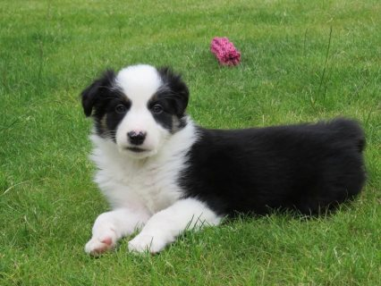 Border Collie female pupies good for adorption