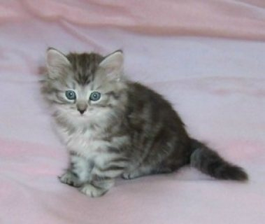 Outstanding Siberian kittens Available For Sale/../././/.