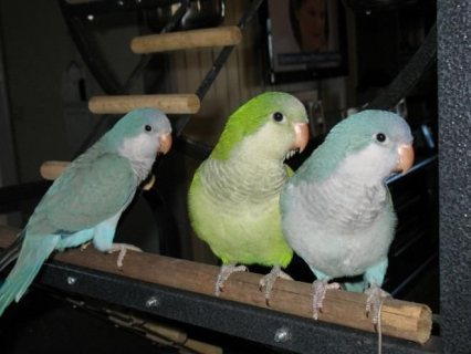 صور Young Quaker Parrots for adorption 1