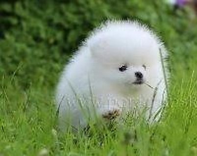 Pure white teacup pomeranian puppy for sale.Show type purebred p