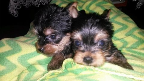 Adorable full pedigree Mini Yorkshire Terrier puppies.
