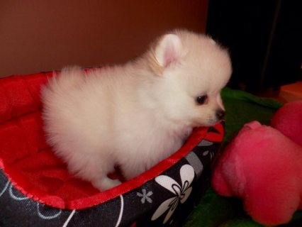 I am given this lovely gorgeous pomeranian puppy.