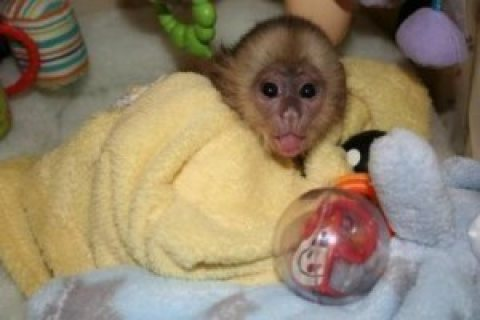 Capuchin Monkeys cute for adoption
