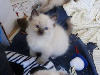 Beautiful and loving fully litter trained kitten.
