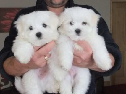 maltese puppies 1 male 1 female for adoption
