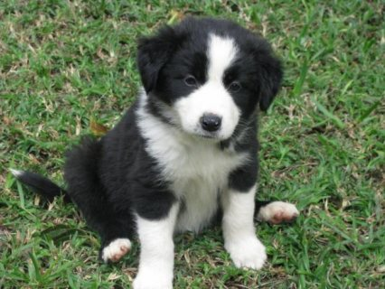 Cute border collie puppies available Lovely Homes
